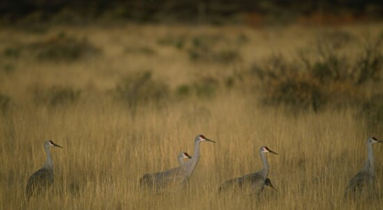 group, sandhill, cranes, grazing, field, bosque, national park