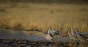 group, sandhill, cranes, taking, flight