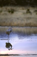 pair, sandhill, cranes, stand, water, together, grus canadensis