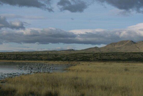 picturesque, scenic, landscape, large, group, sandhill, cranes