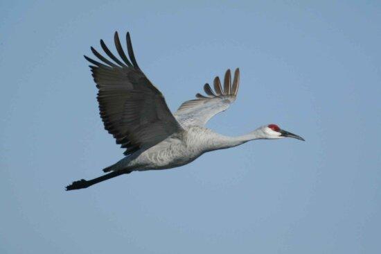 sandhill, crane, bird, flying
