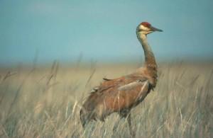 sandhill, crane, bird, high, yellow, grass, grus, canadensis