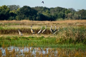 sandhill, crane, birds, marsh, grass, swamp