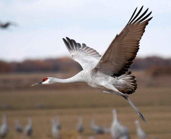 sandhill, crane, flying, close