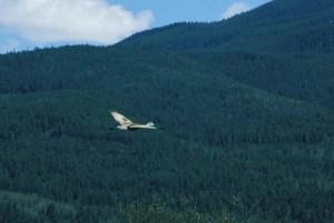 Sandhill, daru, repülés, grus canadensis