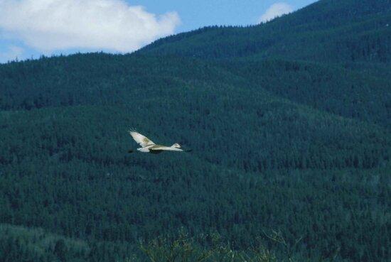 sandhill, crane, flight, grus canadensis