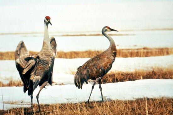sandhill, crane, pair, birds