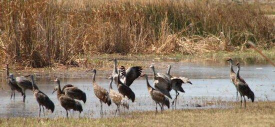 sandhill, cranes, merced, wilderness, refuge