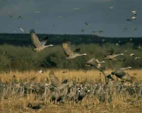 sandhill, cranes, birds, rise, prairie