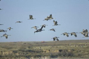 sandhill, cranes, flying