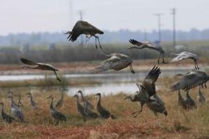 sandhill, cranes, grass, water, line