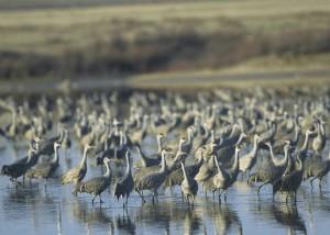 sandhill, cranes, water
