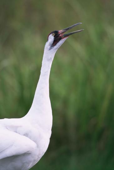 up-close, whooping, crane, head, grus, Americana
