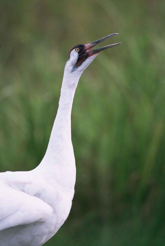 up-close, whooping, crane, head, grus Americana