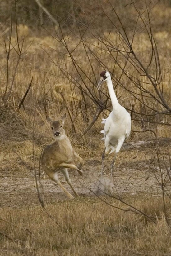 whooping, crane, chases, fawn, territory