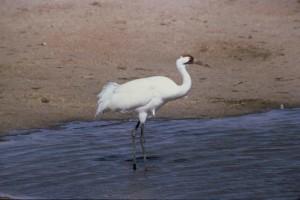 adult, male, whooping, crane, bird, grus, Americana