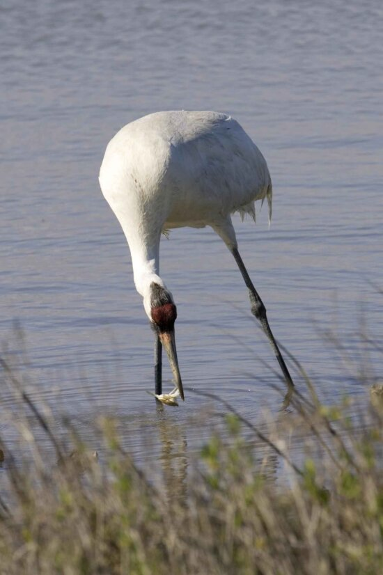 catching, tasty, meal, fun, whooping, crane