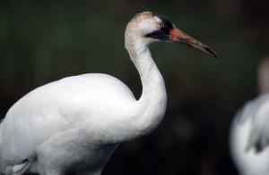 up-close, white, whooping, crane, bird, grus, Americana