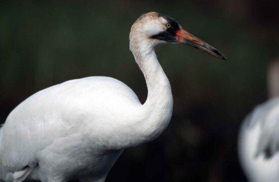 up-close, white, whooping, crane, bird, grus Americana