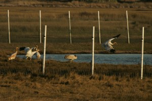 frolicking, whooping, cranes, birds, protected, pen