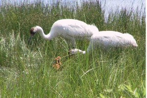 pair, male, female, whooping, crane, birds, green, marsh, feeding, chicks