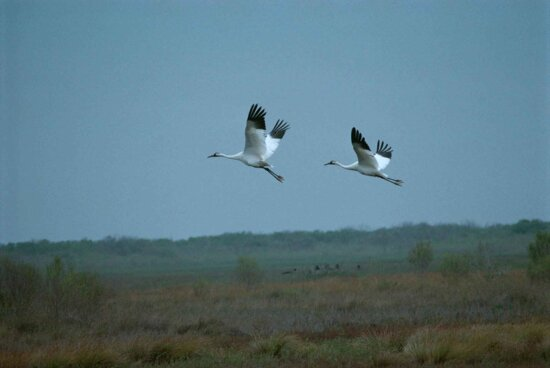pair, whooping, cranes, male, female, flight, grus canadensis