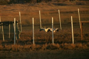 two, whooping, cranes, captive, pen, grus, canadensis