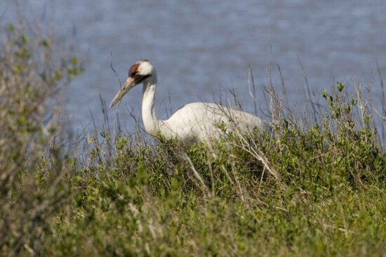 white, whooping, crane, bird, pauses, shore