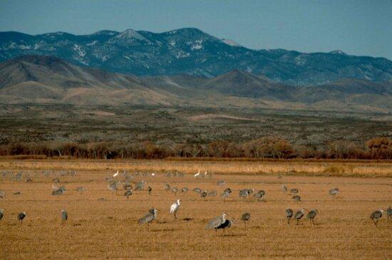 whooping, sandhill, cranes, birds