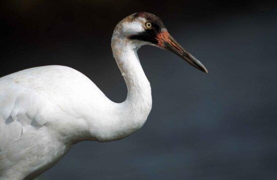 whooping, crane, bird, grus Americana