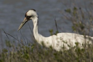 whooping, crane, grus, Americana, pauses, vegetation