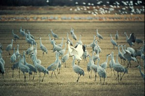 whooping, crane, sandhill, cranes, grus, canadensis