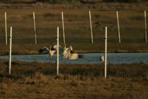 whooping, cranes, perform, bird, ballet, researchers