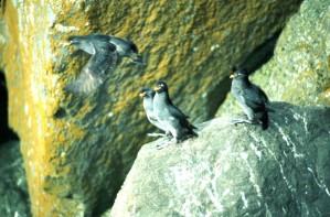 kukmasti, auklet, ptice