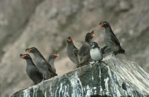 kukmasti, auklet, ptice, grupa, litica, stijena