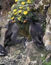 kukmasti, auklet, par, ptice