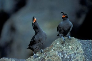 pair, crested, auklets, standing, gray, rocks