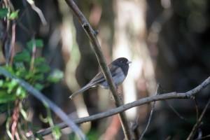 sombre, yeux, junco, oiseau, branche