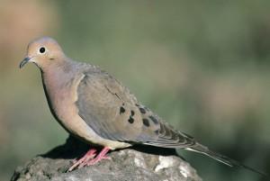 de près, le deuil, colombe, oiseau, debout, rocher, zenaida, macroura