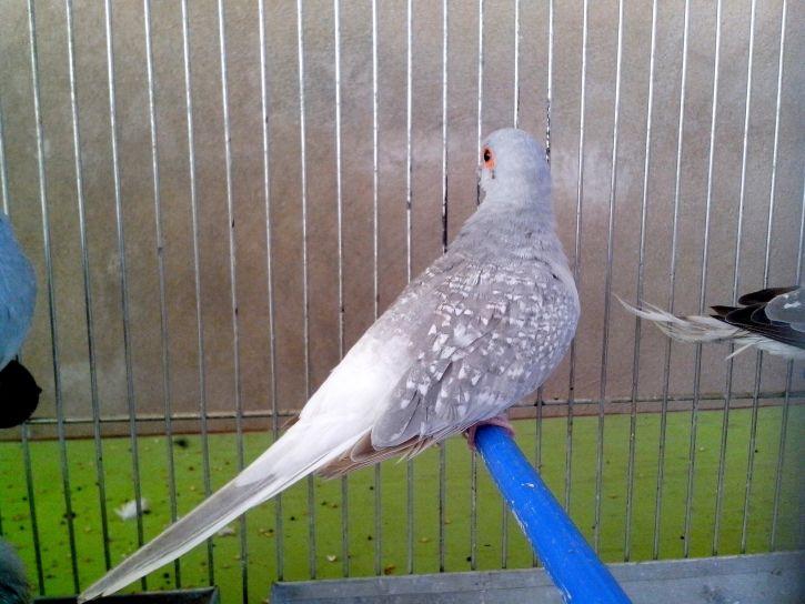 decorative, bird, dove