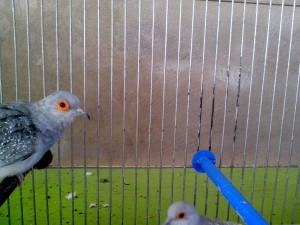 grijze, duif, vogel, hoofd