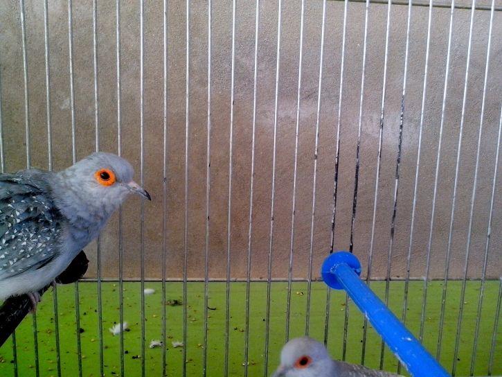 gray, dove, bird, head