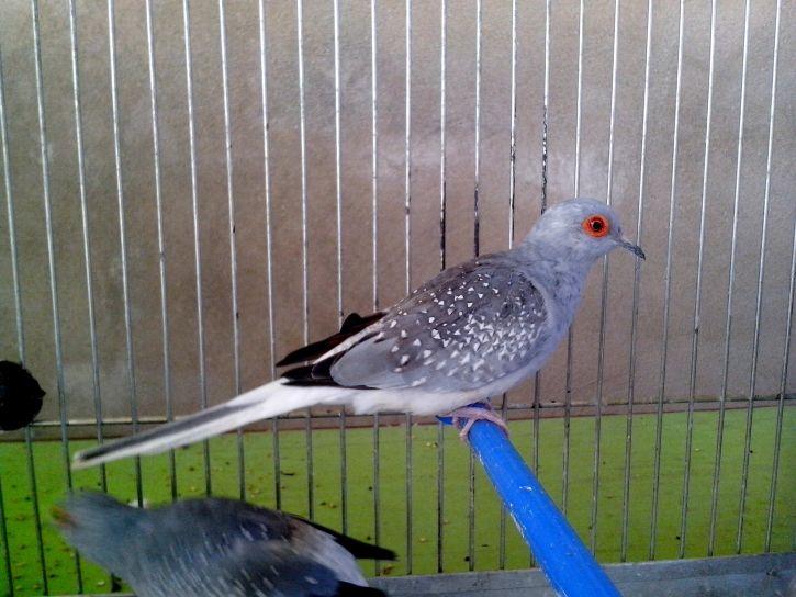 gray, dove, cage