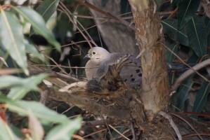 krim, corsé, long, queue, se rétrécissant, le point, le deuil, colombe, oiseau