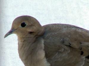 žalosti, njegov polozaj, ptica, zenaida macroura