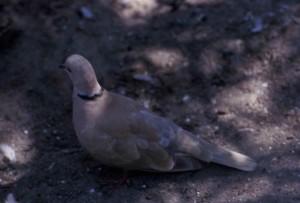 geringd, turtle, duif, vogel, grond, streptopelia risoria