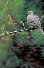 côté, le deuil, colombe, oiseau, zenaida, macroura, assis, branche, arbre