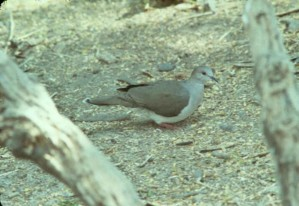 wit, fronted, duif, vogel, grond, leptotila verreauxi