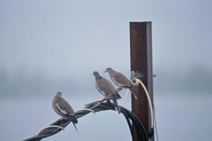 wit, gevleugelde, duiven, staand, telefoon, lijnen, zenaida aurita
