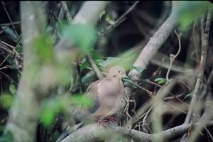zenaida, colombe, oiseau